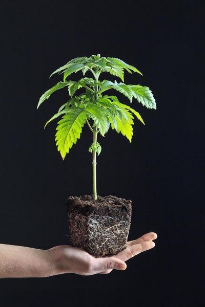 Gdzie kupić nasiona marihuany?, GrowEnter