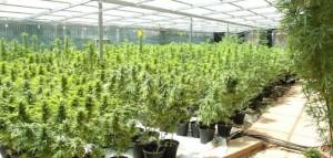 Izrael   światowy lider medycznej marihuany zmaga się z falą kradzieży, GrowEnter