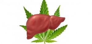 Marihuana chroni wątrobę przed uszkodzeniami spowodowanymi alkoholem, GrowEnter