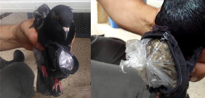 Gołąb Próbował Przemycić Marihuanę i Kokainę na Teren Więzienia, GrowEnter