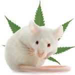 Kannabidiol (CBD) skuteczny w leczeniu astmy, GrowEnter
