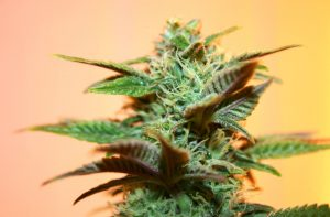 AK 47 feminizowane nasiona marihuany od Royal Queen Seeds, GrowEnter