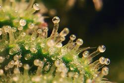 Szerokie spektrum w oddziaływaniu Kannabisu i THC, GrowEnter