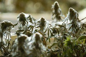 konopia-marihuana-hodowla-uprawa-przedziorkowate-szkodniki-78195
