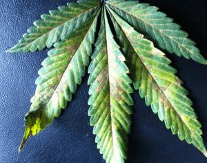 Problemy ze składnikami odżywczymi przy uprawie konopi – Niedobór fosforu albo przenawożenie, GrowEnter