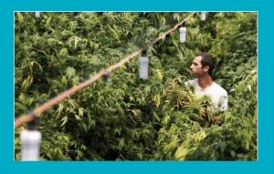 Medyczna Marihuana w Oceanie Spokojnym, GrowEnter