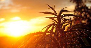 W Urugwaju startuje legalna sprzedaż marihuany, GrowEnter