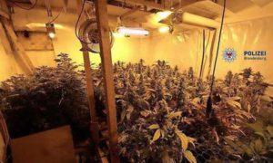 Potsdam: 15 latek uprawiał marihuanę, GrowEnter