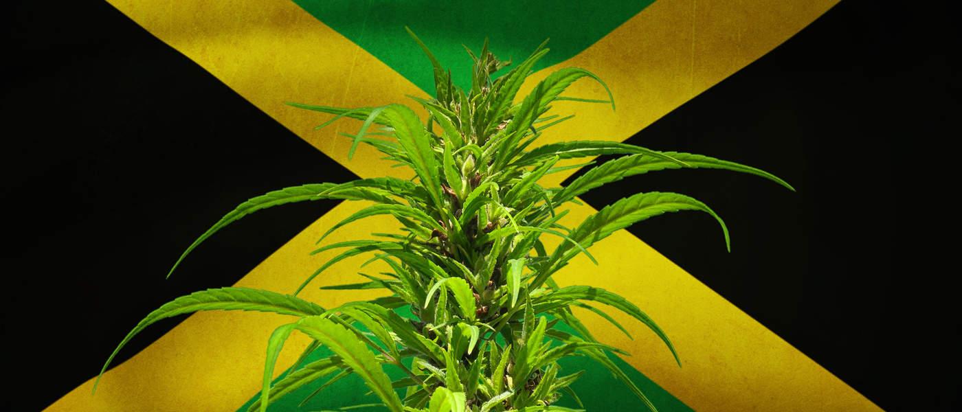 Jamajka chce uprawiać medyczną marihuanę, GrowEnter