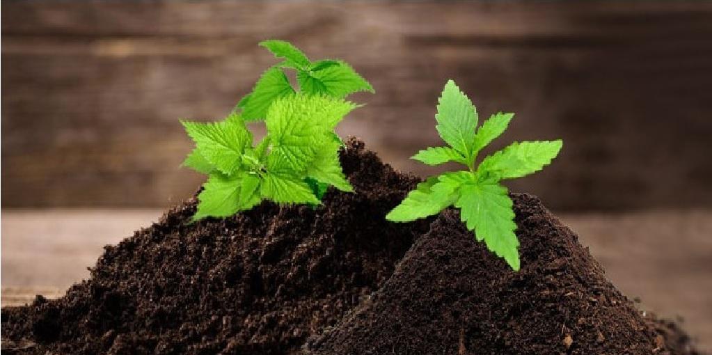 Pożyteczność Pokrzyw Przy Uprawie Cannabisu, GrowEnter