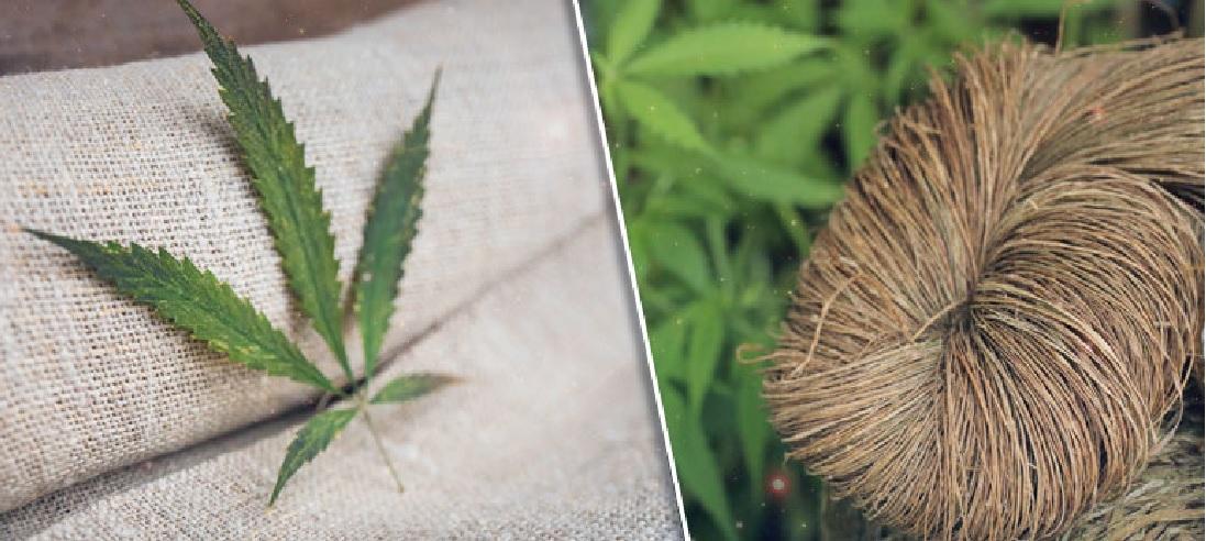 Do Czego Można Wykorzystać Męskie Rośliny Konopi Indyjskich?, GrowEnter