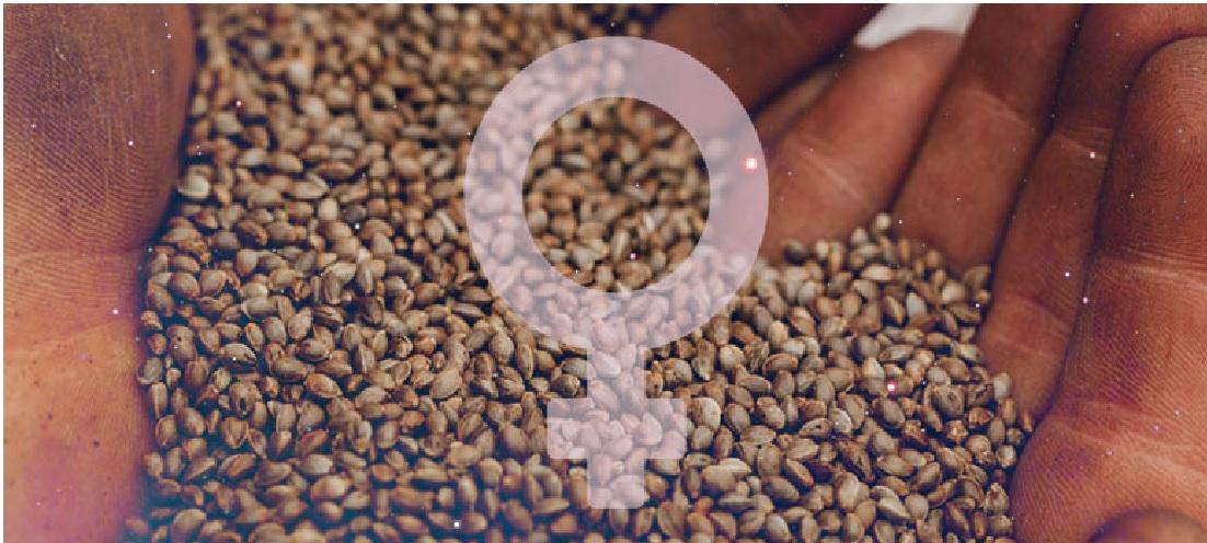 Jak Samemu Wyprodukować Nasiona Feminizowane?, GrowEnter
